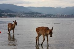 Cerfs communs au Japon Photos stock