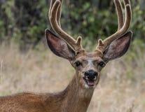 Cerfs communs au Montana image stock