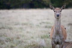 Cerfs communs au parc Photographie stock