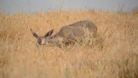 Cerfs communs au point Reyes National Park California banque de vidéos