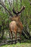 Cerfs communs au printemps Image stock