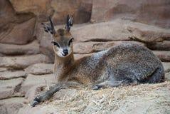 Cerfs communs au zoo d'Omaha photographie stock