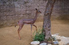 Cerfs communs au zoo de Los Angeles Photographie stock