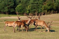 Cerfs communs avec de grands klaxons Photos libres de droits