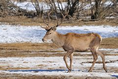Cerfs communs avec de grands klaxons Photo stock