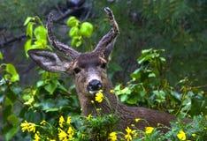 Cerfs communs avec des fleurs Image stock