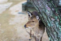 Cerfs communs avec l'arbre Photo libre de droits