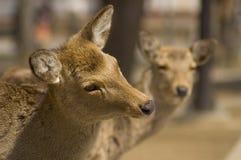 Cerfs communs avec l'expression investigatrice Photographie stock libre de droits