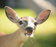 Cerfs communs avec la bouche ouverte et les grandes dents Images stock