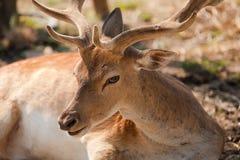 Cerfs communs avec la grande étape Photographie stock libre de droits