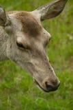 Cerfs communs Bactrian Photos stock