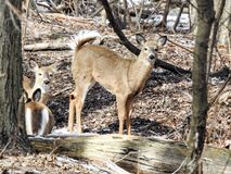 Cerfs communs Blanc-coupés la queue curieux dans un secteur boisé Photo stock