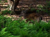 cerfs communs Blanc-coupés la queue dans les fougères Photo libre de droits