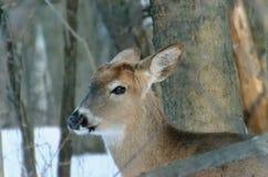 cerfs communs Blanc-coupés la queue - Ontario, Canada photos libres de droits