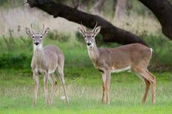 cerfs communs Blanc-coupés la queue Spike Buck Photos stock