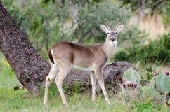 cerfs communs Blanc-coupés la queue Spike Buck Photographie stock libre de droits