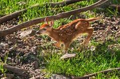 Cerfs communs Blanc-coupés la queue (virginianus d'Odocoileus) Fawn Runs Left Photo libre de droits