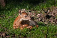 Cerfs communs Blanc-coupés la queue (virginianus d'Odocoileus) Fawn Looks Right Image libre de droits