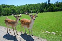 Cerfs communs Blanc-Suivis Images stock