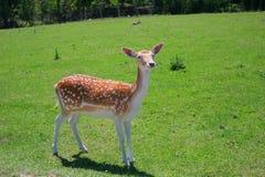 Cerfs communs Blanc-Suivis Photographie stock