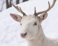 Cerfs communs blancs Photographie stock