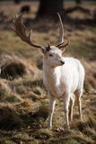 Cerfs communs blancs de mâle Photos libres de droits