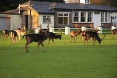 Cerfs communs bruns irlandais sauvages images libres de droits