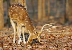 cerfs communs cheetal alimentant, réservation de tigre de pench Photographie stock