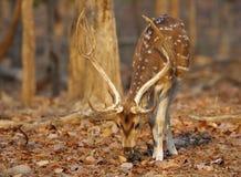 cerfs communs cheetal dans la réservation de tigre de pench Photo libre de droits