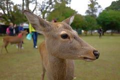 Cerfs communs chez Nara Park Image libre de droits