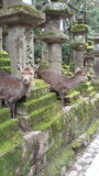 Cerfs communs chez Nara Park, Japon Photos stock