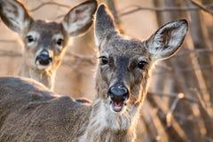 Cerfs communs coupés la queue blancs forageant dans la belle lumière au crépuscule image stock