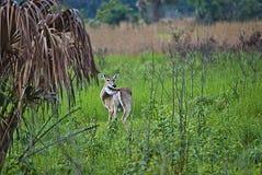Cerfs communs coupés la queue par blanc de marais Image libre de droits