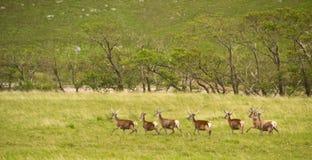 Cerfs communs courants Photos stock