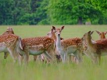 Cerfs communs curieux Images stock