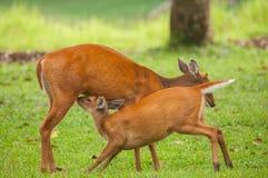 Cerfs communs d'écorcement de bébé d'american national standard de maman Photos stock