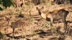 Cerfs communs d'écorcement, mère et son enfant, dans le sauvage photographie stock libre de droits