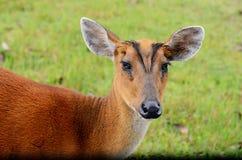 Cerfs communs d'écorcement, Muntjac en nature photos stock
