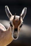 Cerfs communs d'Africaine de chéri Photographie stock
