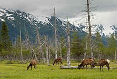 Cerfs communs d'Alaska Photo libre de droits