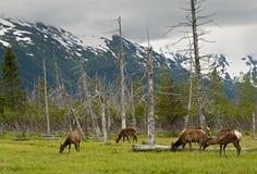 Cerfs communs d'Alaska Photo libre de droits