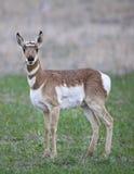 Cerfs communs d'antilope frôlant dans la forêt Photos stock