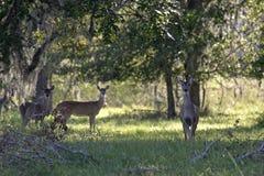 Cerfs communs d'arbre dans le domaine Image libre de droits
