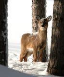 Cerfs communs d'arrière blanc dans la neige. Images libres de droits