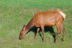 Cerfs communs d'arrière blanc mangeant l'herbe Photo stock