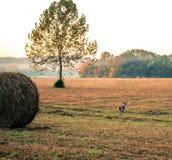 Cerfs communs d'automne Image libre de droits