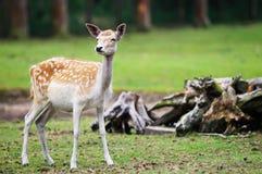 Cerfs communs d'axe Images stock