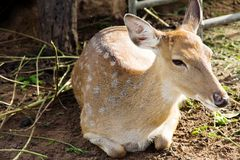 Cerfs communs d'axe photos libres de droits