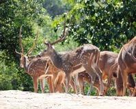 Cerfs communs d'axe (cerfs communs repérés) et cerfs communs de sambar (cerfs communs philippins) Photo libre de droits