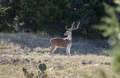 Cerfs communs d'axe de Chital, bois de flottage le Texas photos libres de droits